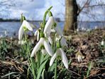 Snowdrops near lake