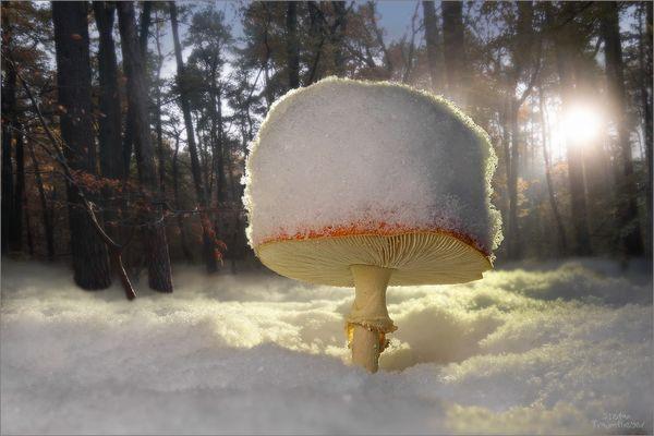 snowy amanita