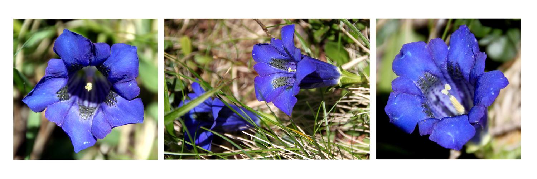 *So blau blau blau, blüht der Enzian*