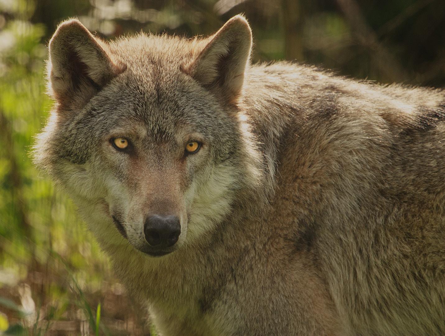 So böse sieht der Wolf gar nicht aus...