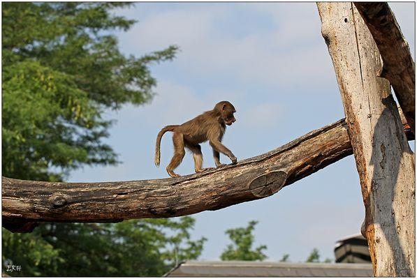 So ein Affe