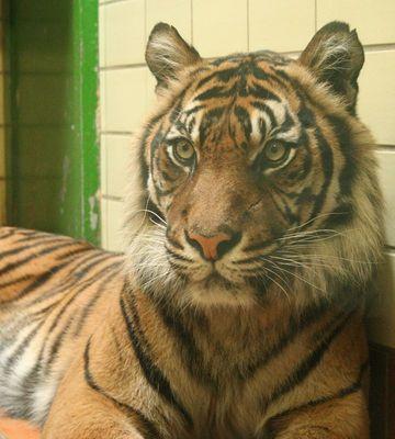 So ein hübscher Tiger