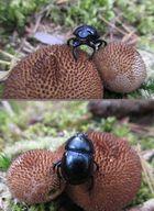 So ein Mist, da sitzt ja ein Käfer, und der sagt: