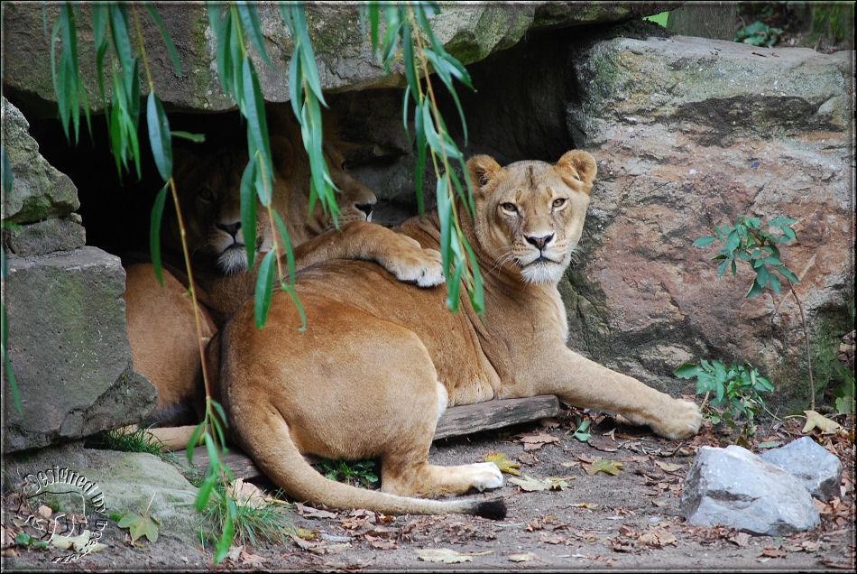 So ein netter Löwenmann - hier im Hintergrund - darf.........