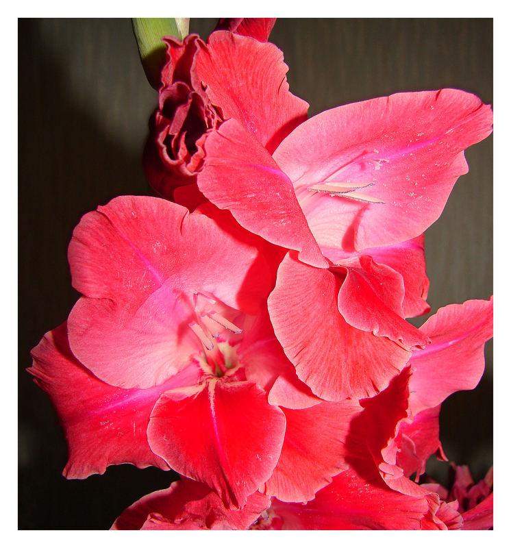 So eine sehenswerte gladiole, die andere ging den weg in den kübel, bei mir blühen sie