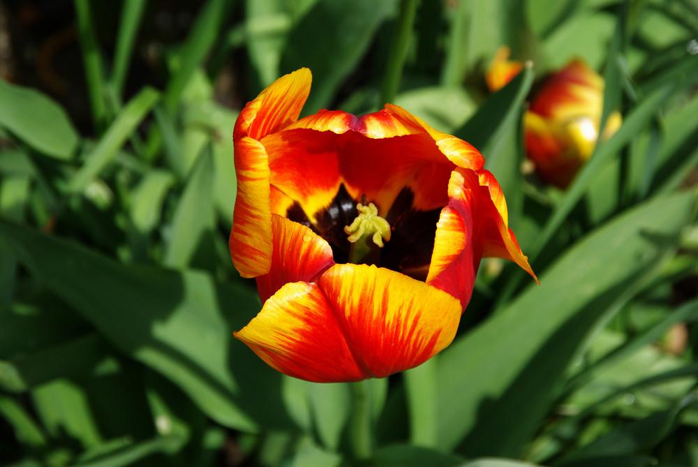 So eine Tulpe...