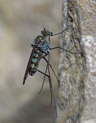 So farbenfroh können Fliegen sein! - Une simple petite mouche aux belles couleurs brillantes!