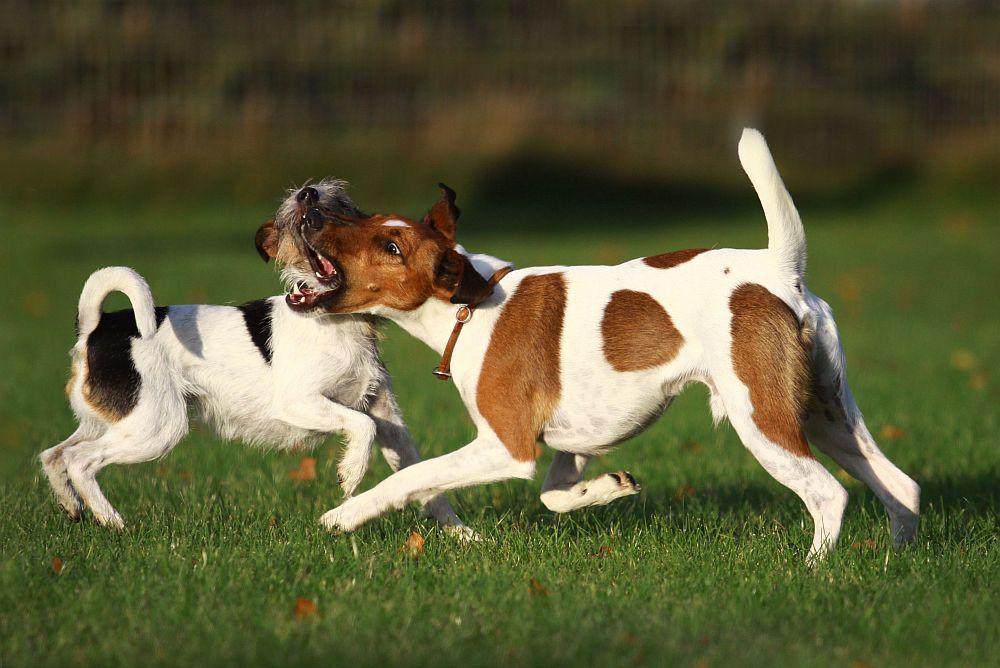 So feiern Terrier...