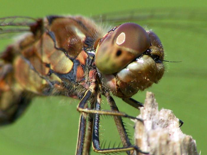 So guckt eine Libelle, wenn sie sich in der Linse spiegelt.