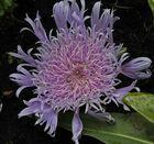 So, jetzt gibt es die Flockenblume in Cily, nämlich scharf