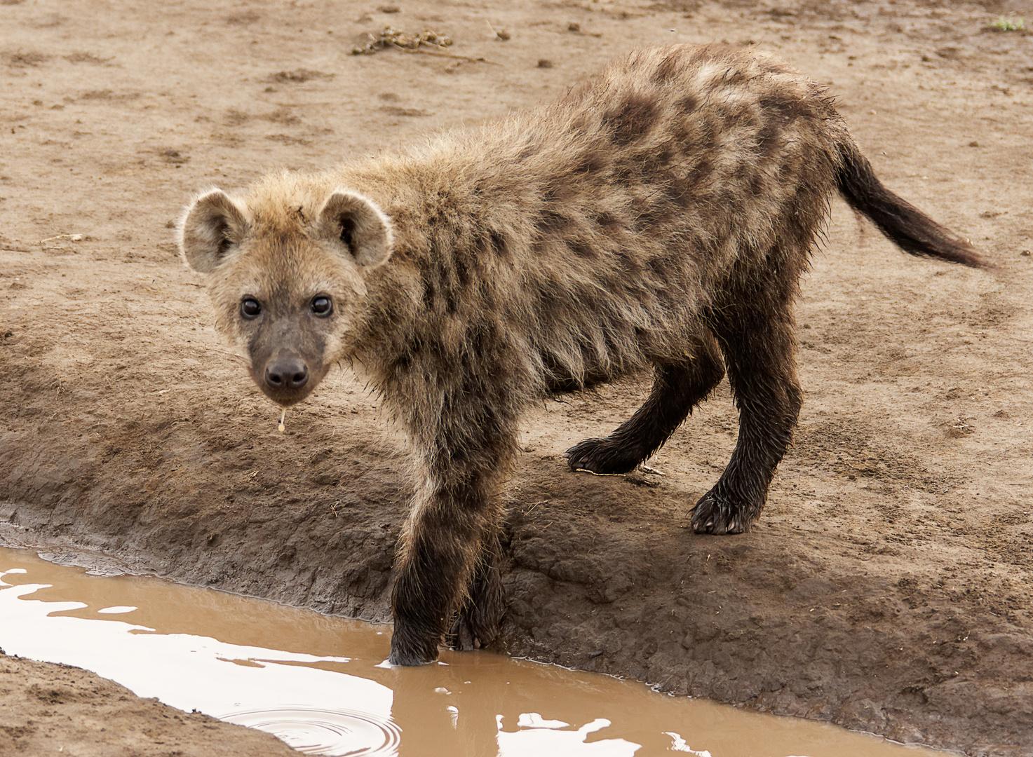 So jung sind sie richtig niedlich. Hyäne, Serengeti 2013.