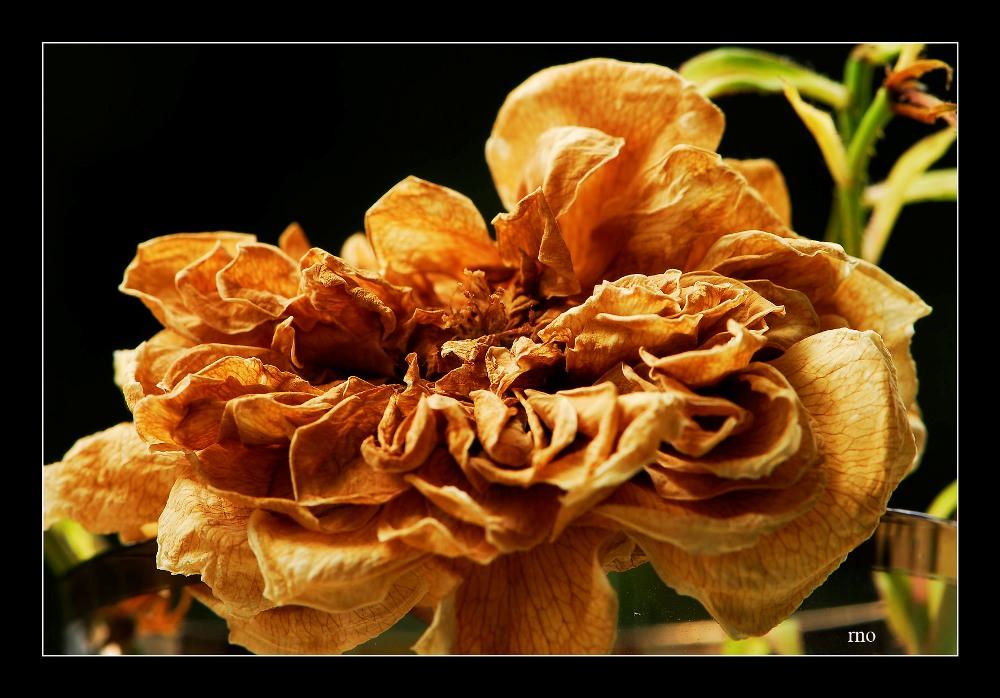 so kann eine Rose schön sein...