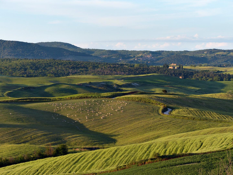 So leben Schafe in der Toskana