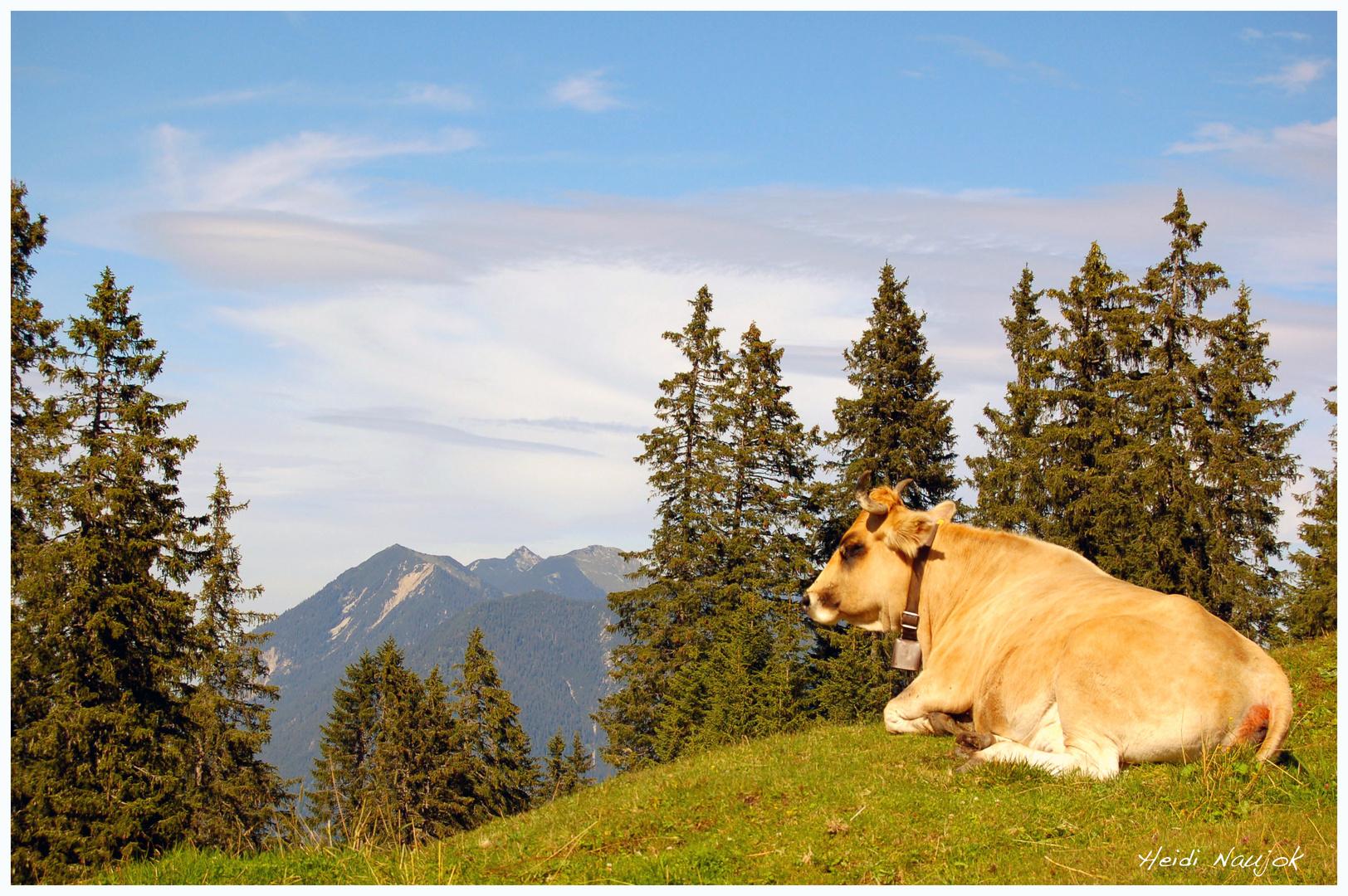So liebt es die Kuh