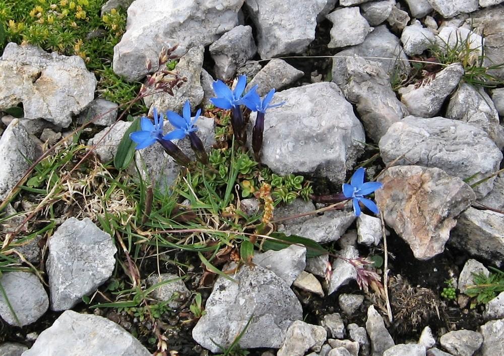 so schön blüht der Enzian