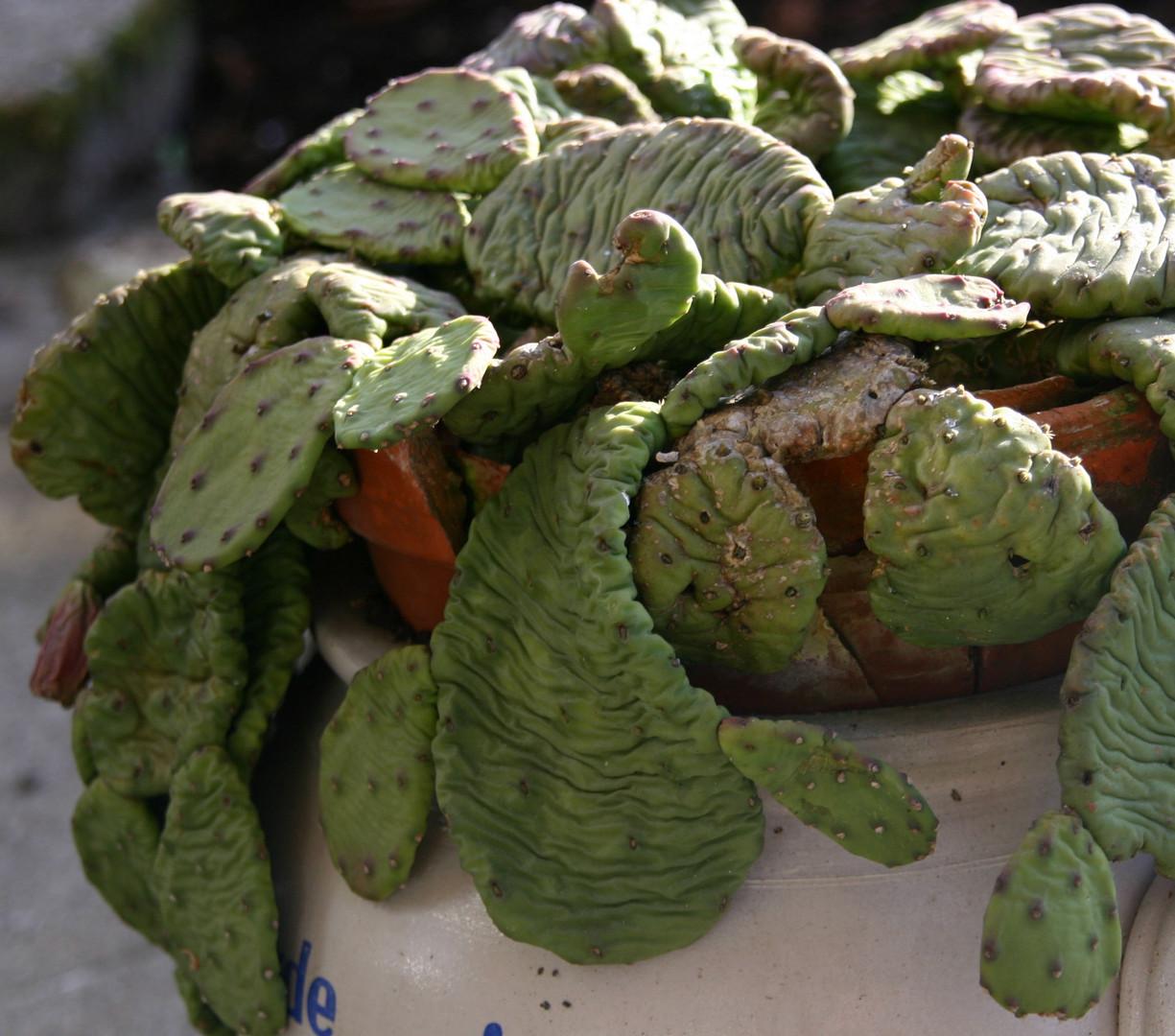 So sieht mein Kaktus im Winter aus.