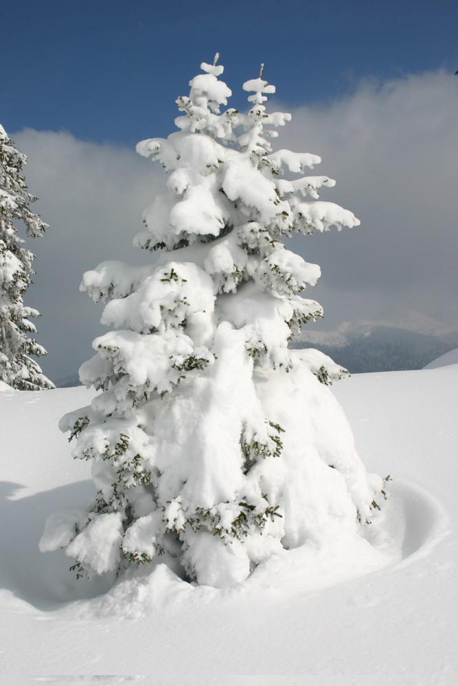 so viel schnee und so wenig baum foto bild pflanzen pilze flechten b ume nadelb ume. Black Bedroom Furniture Sets. Home Design Ideas