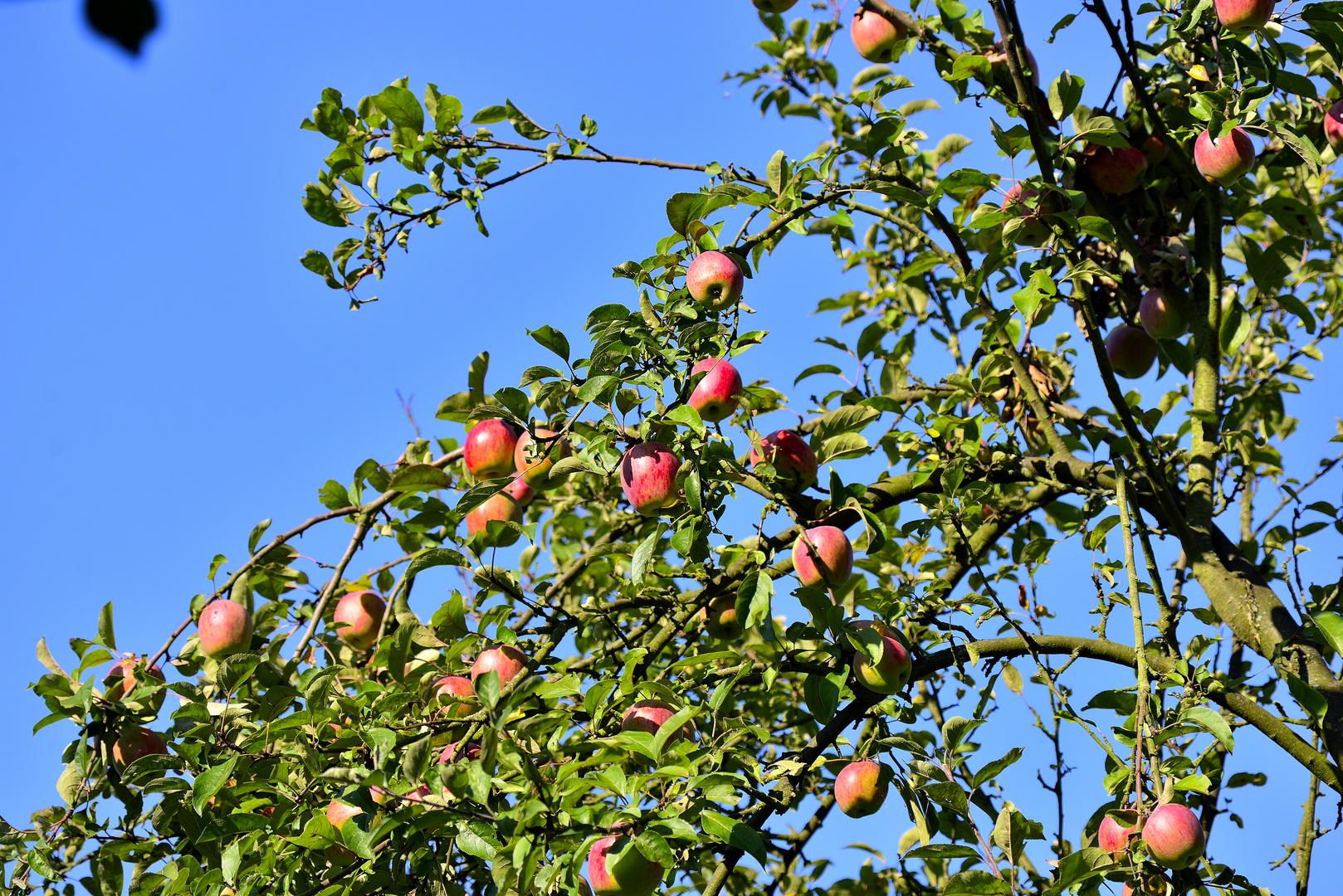 so viele Äpfel auf meinen alten Bäumen