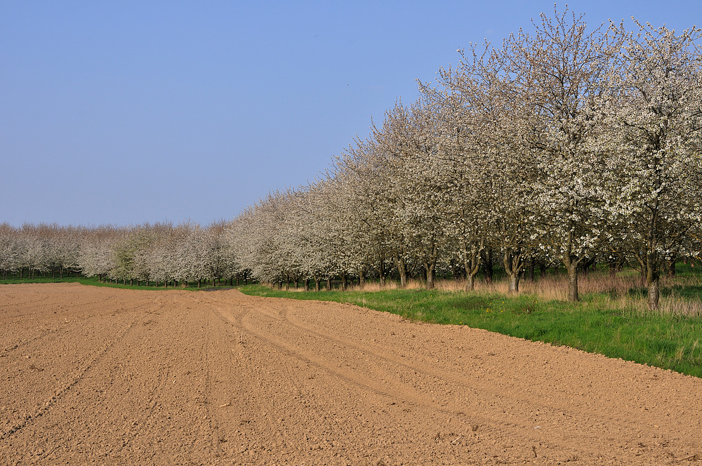 So weit das Auge reicht Kirschblütenbäume 1 org.