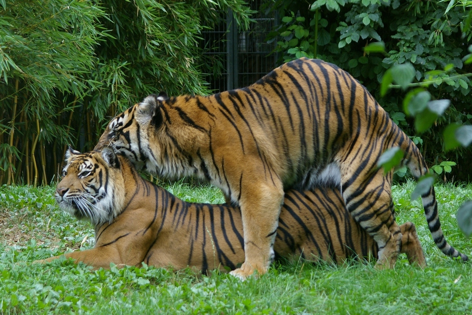 so werden kleine tiger gemacht foto bild tiere zoo wildpark falknerei s ugetiere bilder. Black Bedroom Furniture Sets. Home Design Ideas