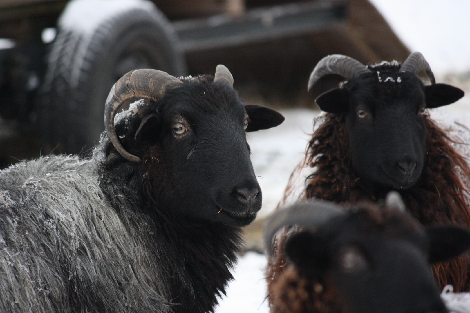 Soay-Schafe