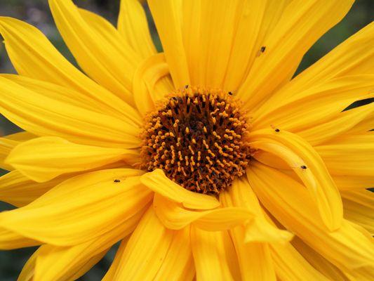 So(ei)ne Blume
