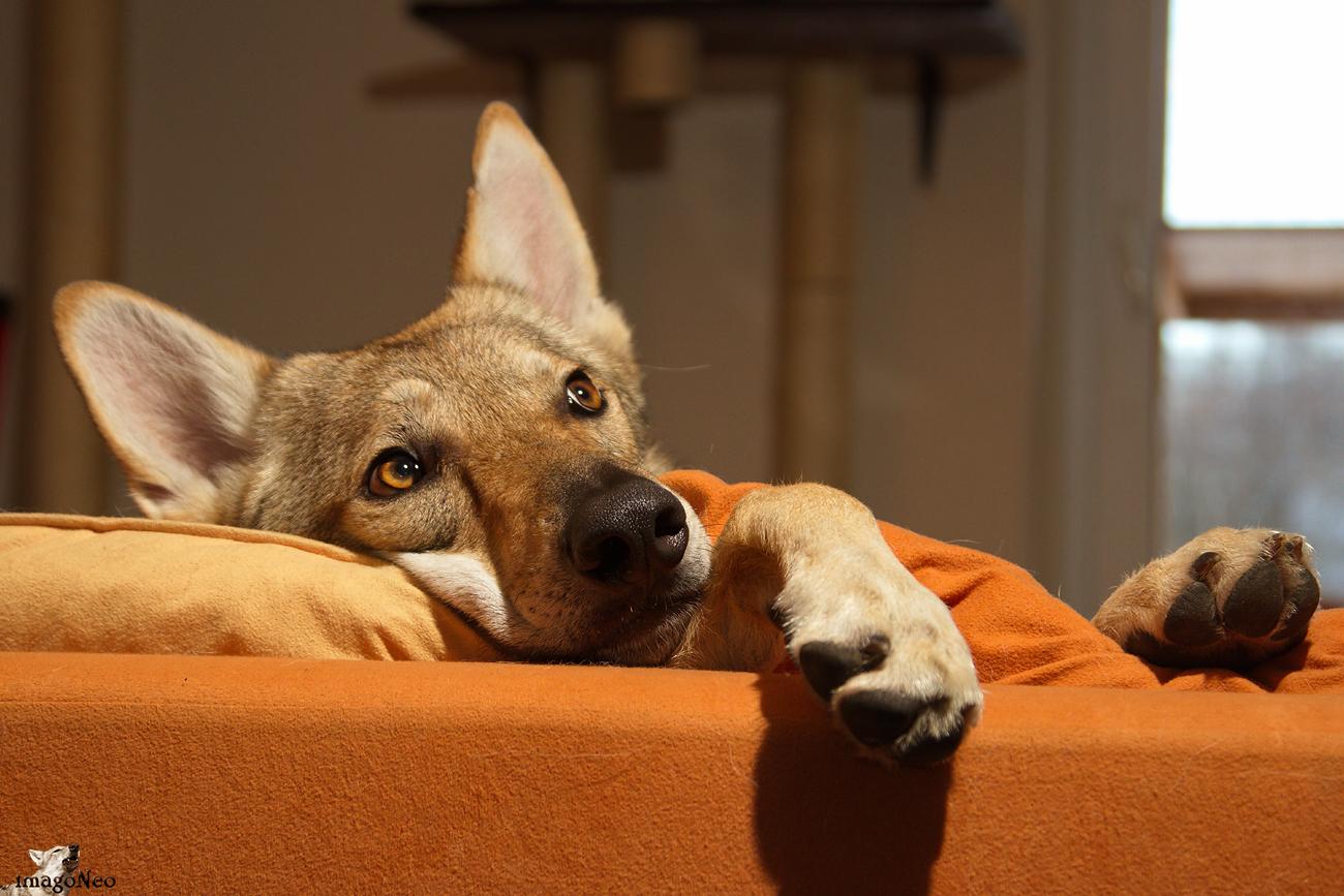 Sofawolf