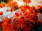 Soft Coral Shrimp