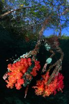 soft corals on mangroves