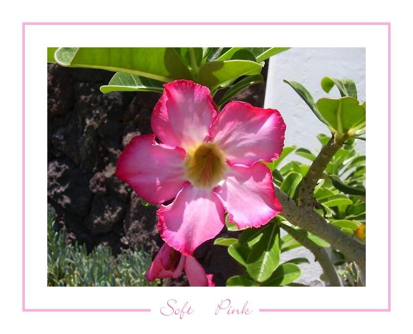 Soft Pink II
