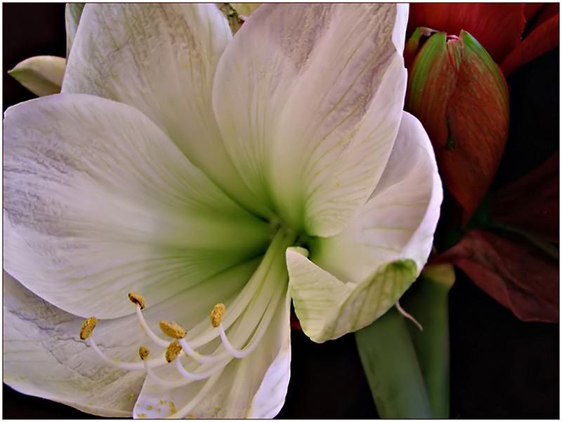 ~ soft white Amaryllis ~