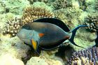 Sohaldoktorfisch ( Acanthurus Sohal)