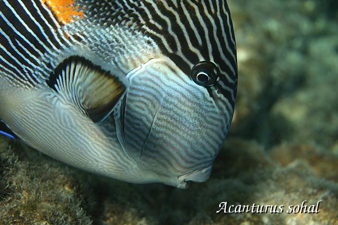 Sohaldoktorfisch