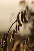 Sojabohnen im Morgenlicht