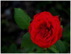 Solange noch die Rosen blühn...