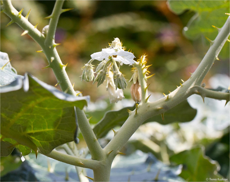 Solanum marginatum (Weißrandiger Nachtschatten)....