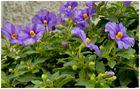 Solanum (rantonuettii)