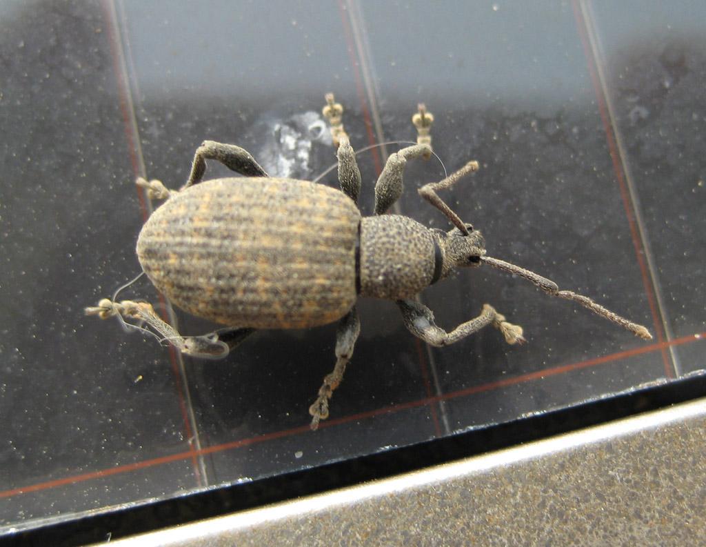 Solar-Käfer