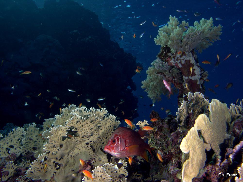 Soldaten Fisch im Riff
