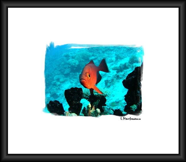Soldatenfisch - Myripristis murdjan