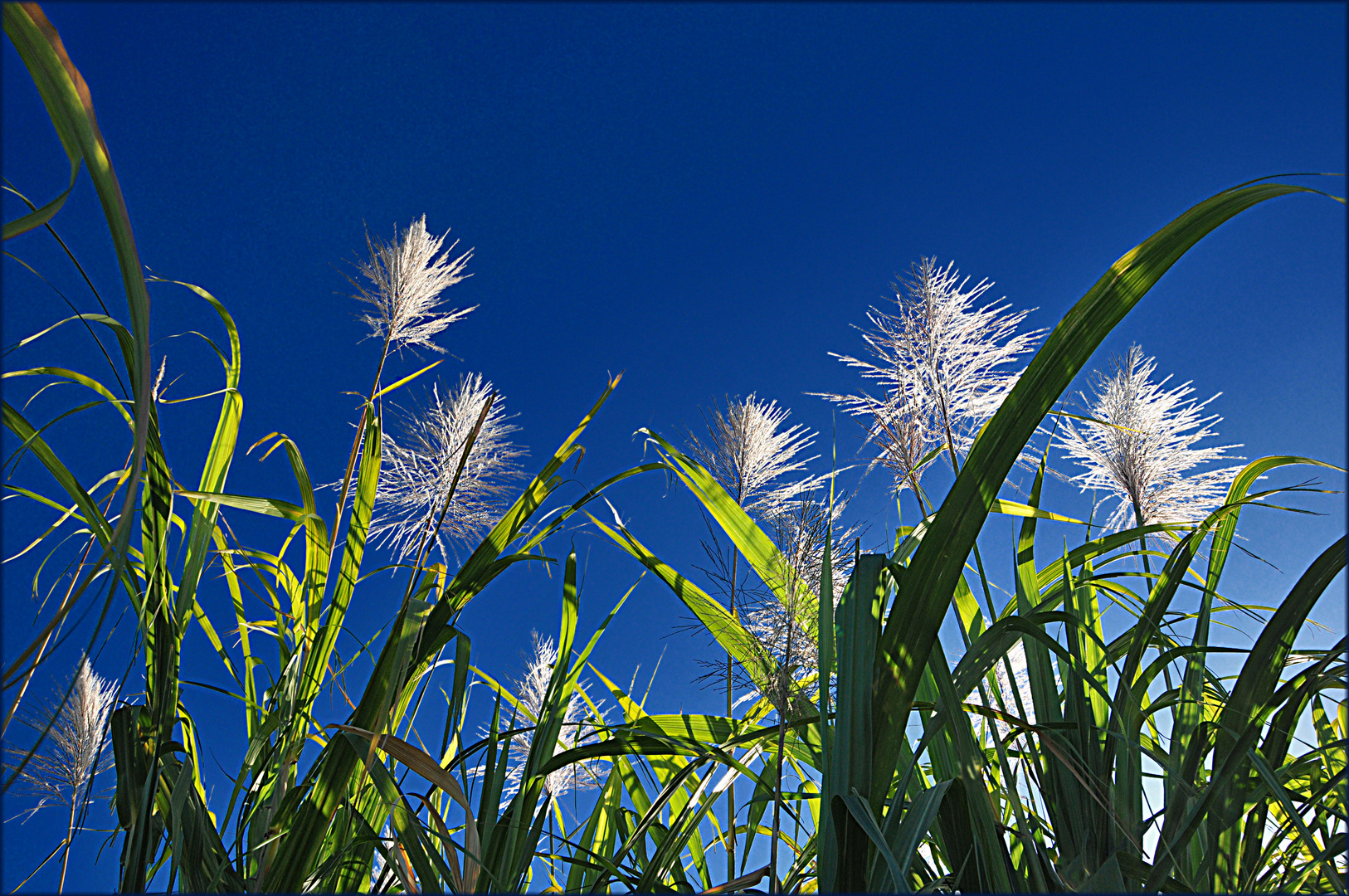 Soleil dans les fleurs de canne à sucre