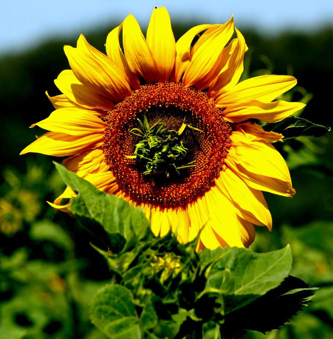Soleil Soleil
