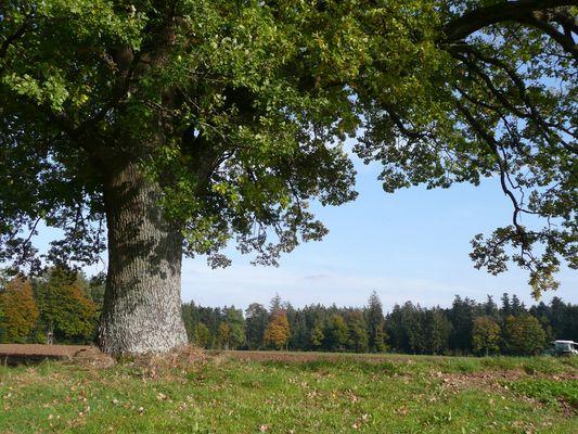 Solitär-Baum - bei Kaisersbach