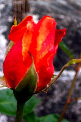Solitär Rose