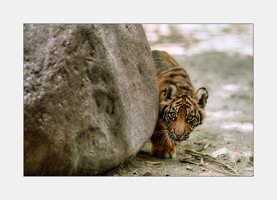 Soll man einem kleinen Tiger, der beim Anschleichen so durchdringend guckt, wirklich trauen?