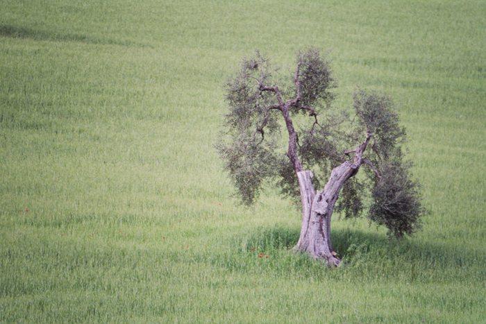Solo für alten Olivenbaum