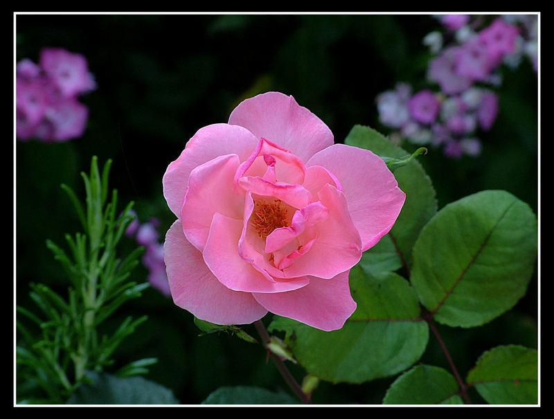 Solo una ... rosa.