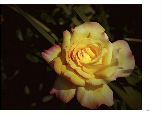 ...solo...una rosa...