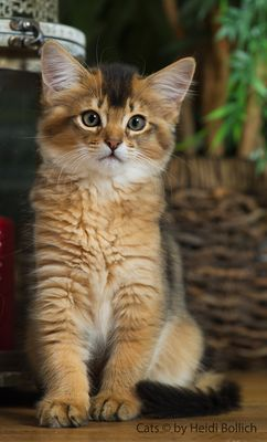 Somali Kitten / 2