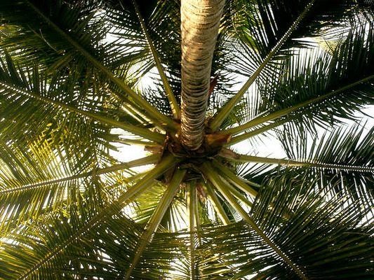 'Sombrilla de palmera'